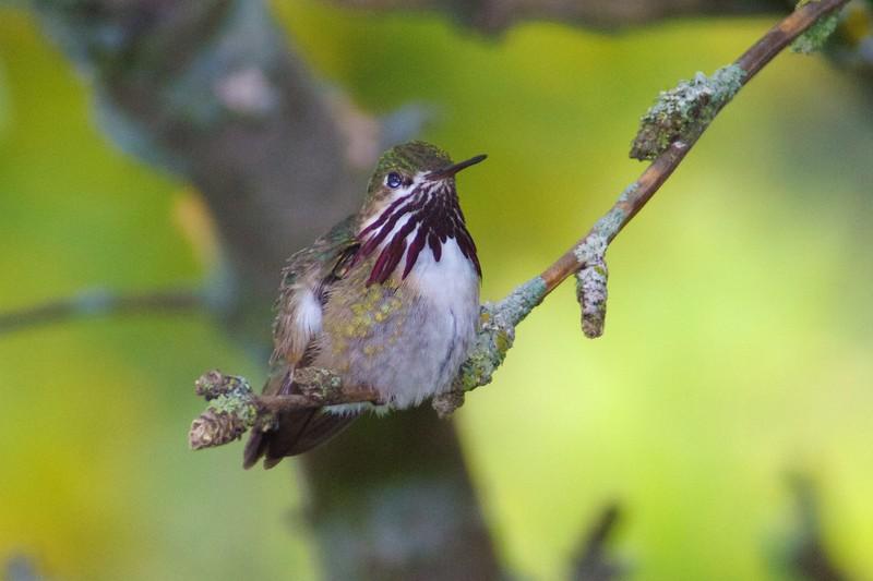 Calliope Hummingbird male Park Point Duluth MN IMG_1949.jpg