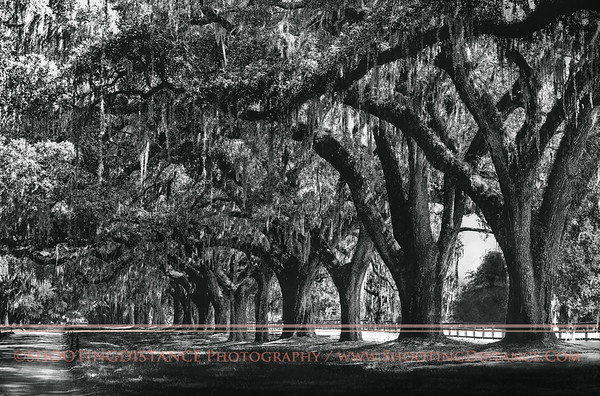 Live Oaks on the road to Boone Hall, near Charleston, SC