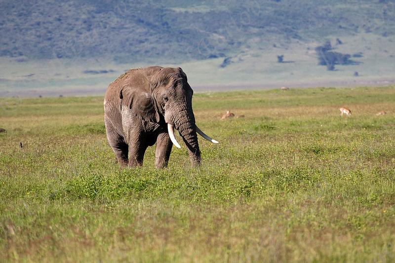 Elephant, פיל, , Loxodonta africana