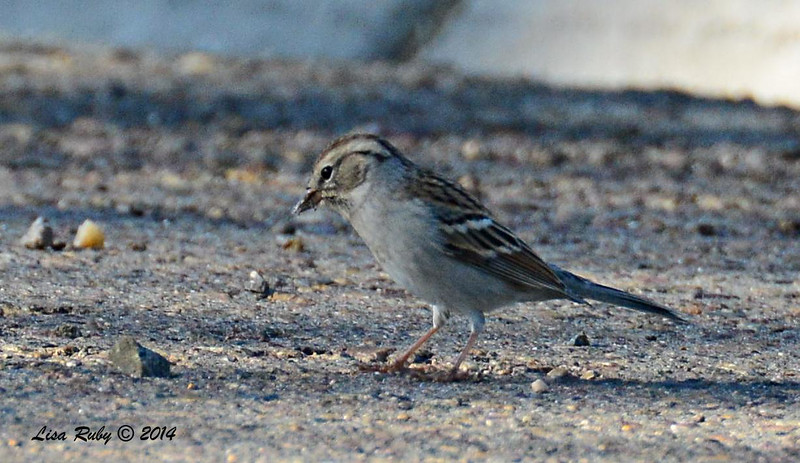 Probable Chipping Sparrow -  9/14/2014 - FRNC