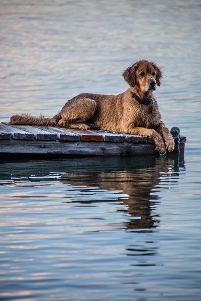 Golden Retriever laying on a dock at Lake Almanor.