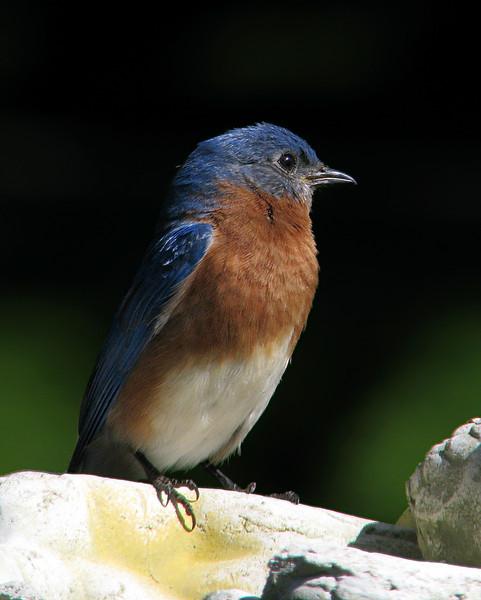 bluebird_3146.jpg
