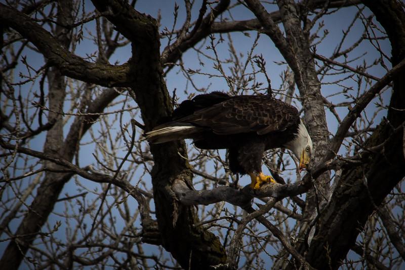 Eagle eating-7022.jpg