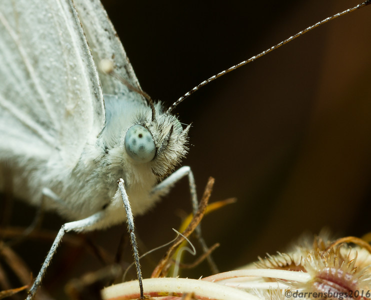 Cabbage White butterfly, Pieris rapae (Iowa, USA).