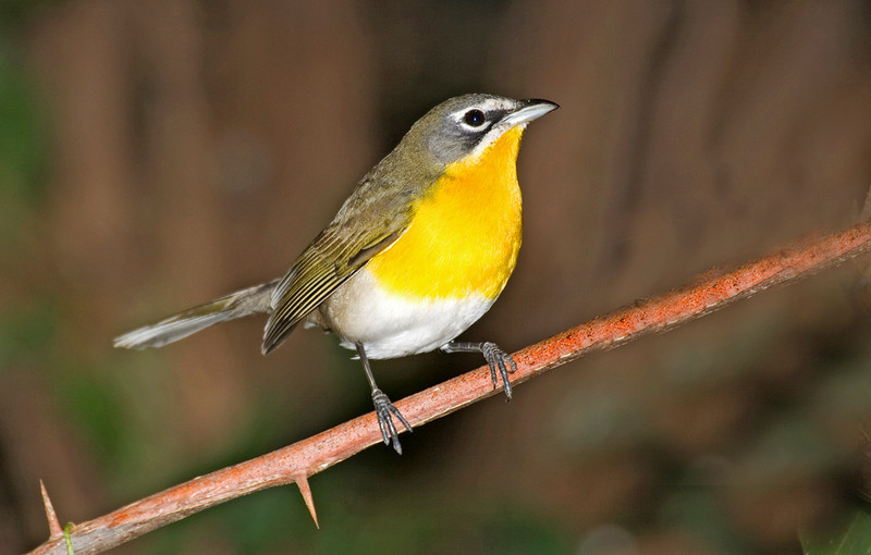 Yellow-breasted Chat 2.jpg