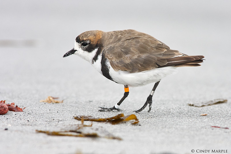 Two-banded_Plover_2.jpg