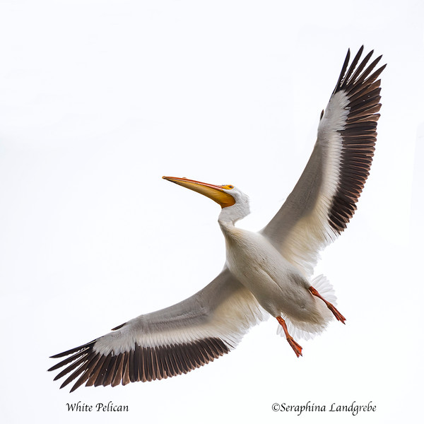 _DSC1761White pelican.jpg