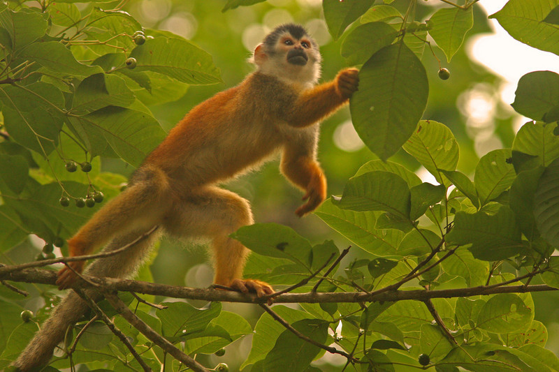 WB~CR Monkey reaching for leaf1280.jpg