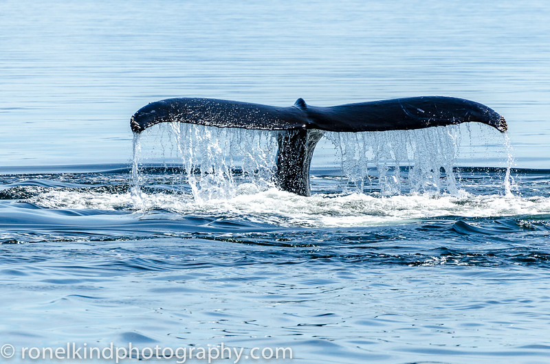 Killer whale's tail.