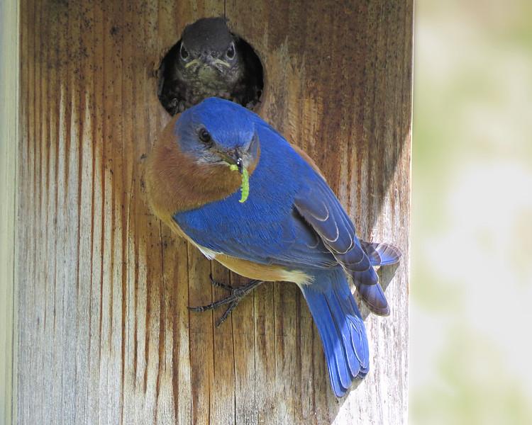 sx50_bluebird_ben_nestling_nestbox_135.jpg