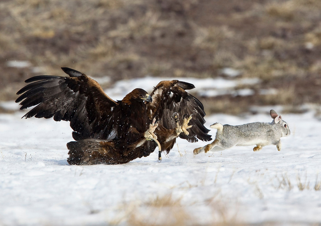. A tamed golden eagle attacks a rabbit during an annual hunting competition in Chengelsy Gorge, some 150 km (93 miles) east of Almaty February 23, 2013.  REUTERS/Shamil Zhumatov