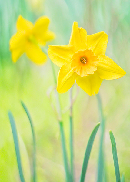 s 5x7 Vintage Daffodils.jpg
