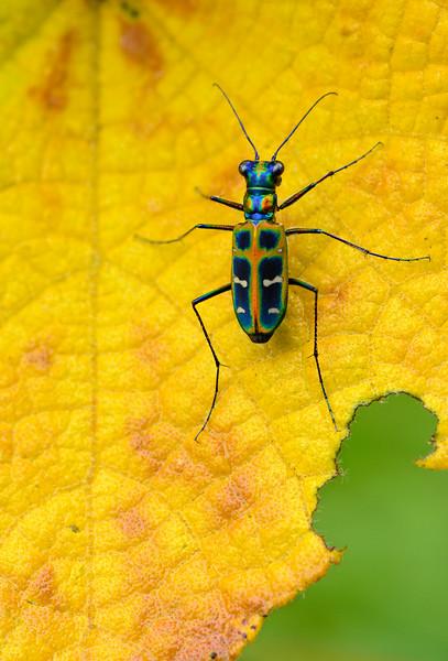 Tiger-beetle-agumbe.jpg