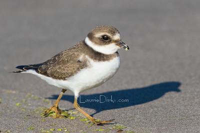 Shorebirds, Upland, Game Birds