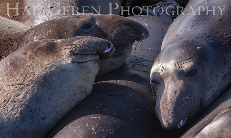 Elephant Seals Big Sur, California 1401BS-ES8