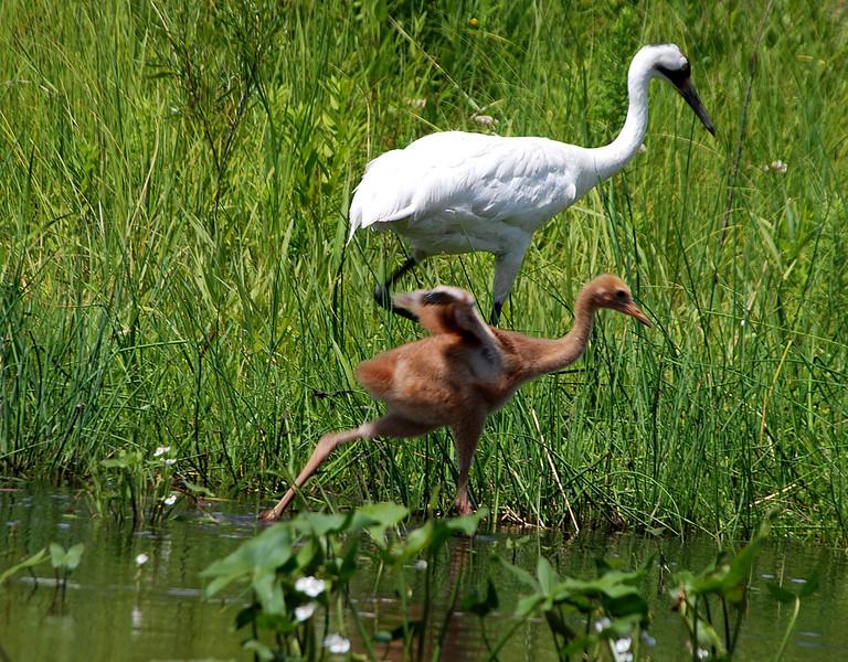 Cranes mom  baby  Baraboo  Roper .jpg