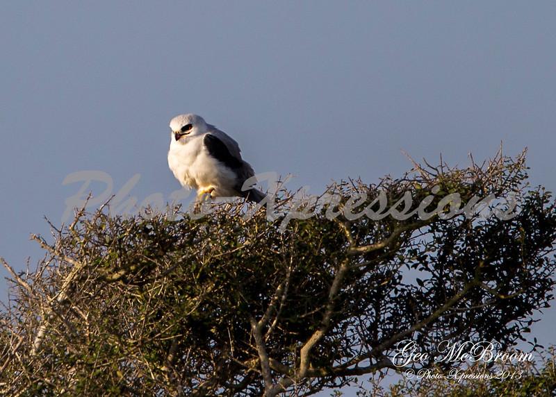white tailed kite-print_6195.jpg