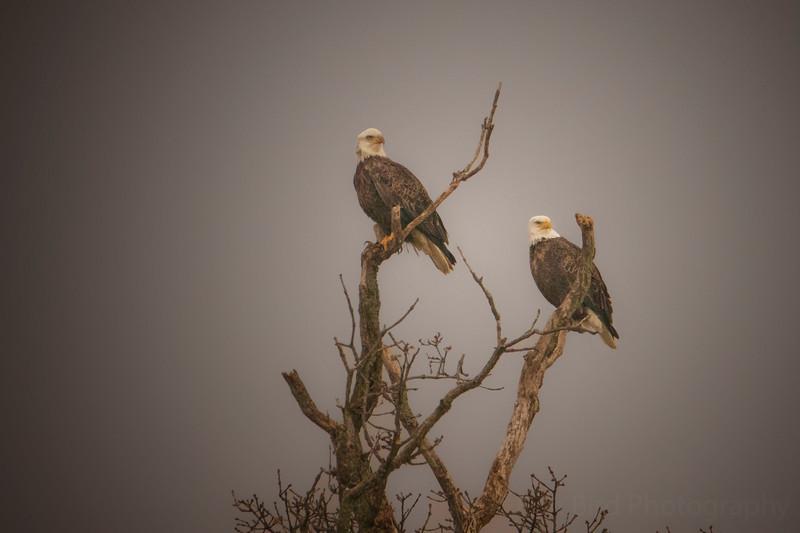 2.28.21 - Madison County: Bald Eagle