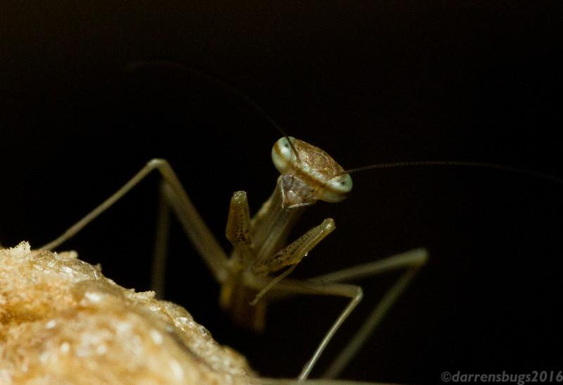 First instar Chinese praying mantis nymph, Tenodera sinensis.
