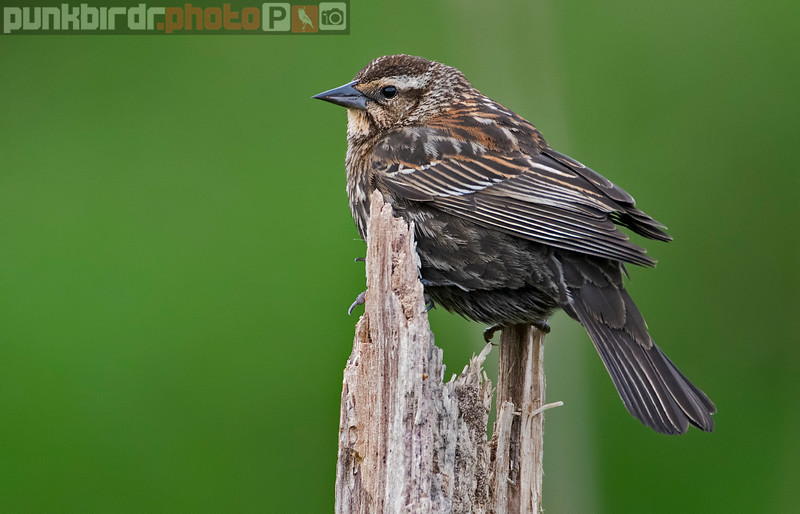 Red-winged Blackbird female (Agelaius phoeniceus)