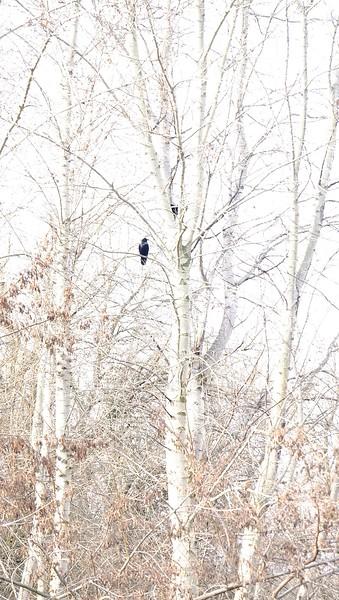 two black birds.jpg