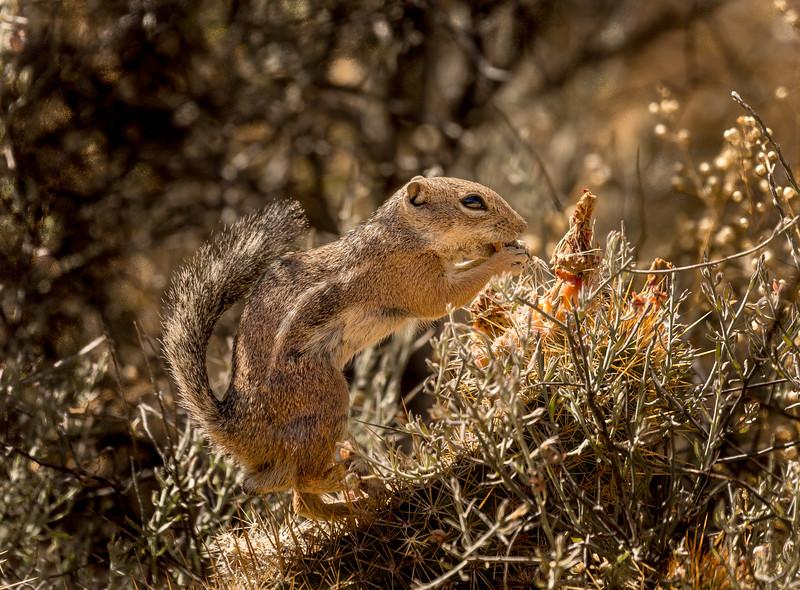 Harris Antelope Squirrel and Cholla Cactus #3