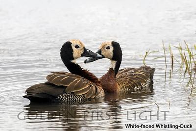White-faced Whistling-Duck, Kenya