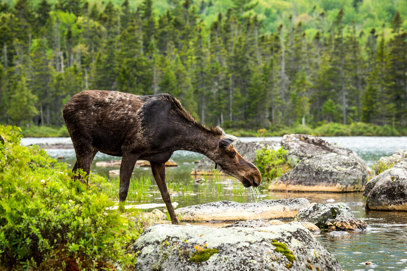 Female moose (Alces alces),  Baxter state park, Maine, USA.