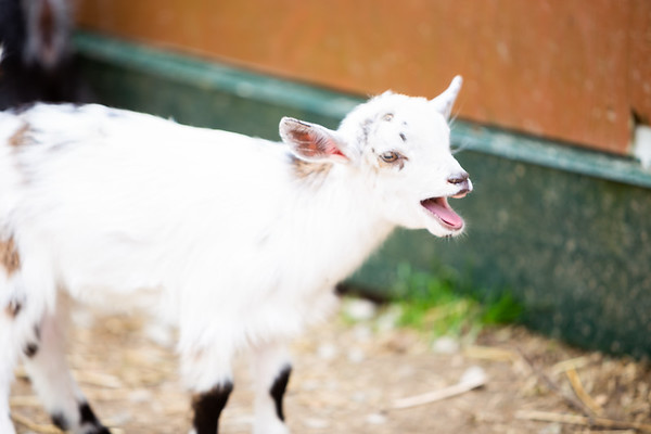 Spring 2020 - Baby Goats 01 - 4/8/20