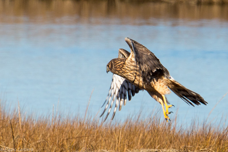 Northern Harrier Landing