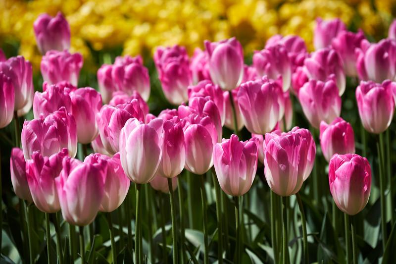 Blooming tulips flowerbed in Keukenhof flower garden, Netherlands