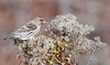 common redpoll, male eating goldenrod seeds, winter,LI,NY