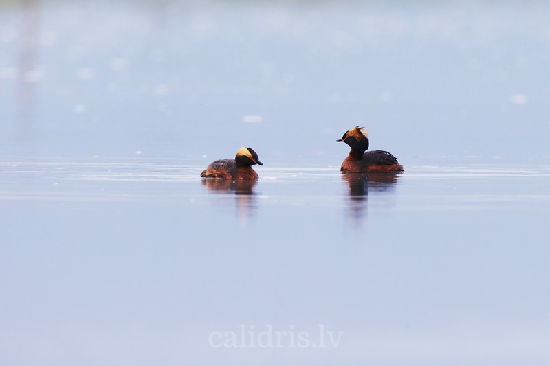 Horned grebes in water