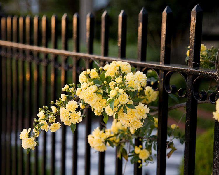 Lady Banks Roses on wrought iron at sunset.