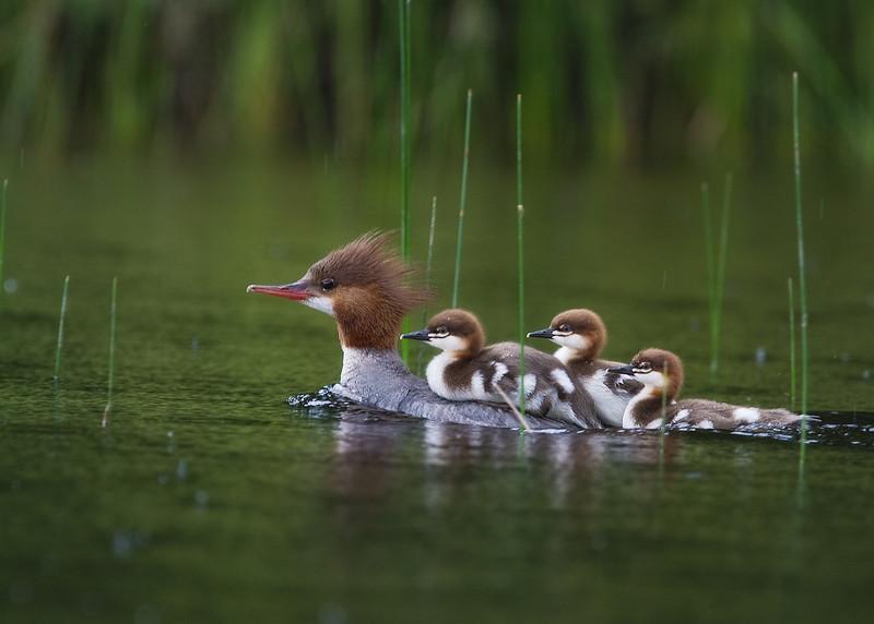 ducks_5x7.jpg
