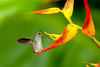 Scaly-breasted Hummingbird on Heliconia 2