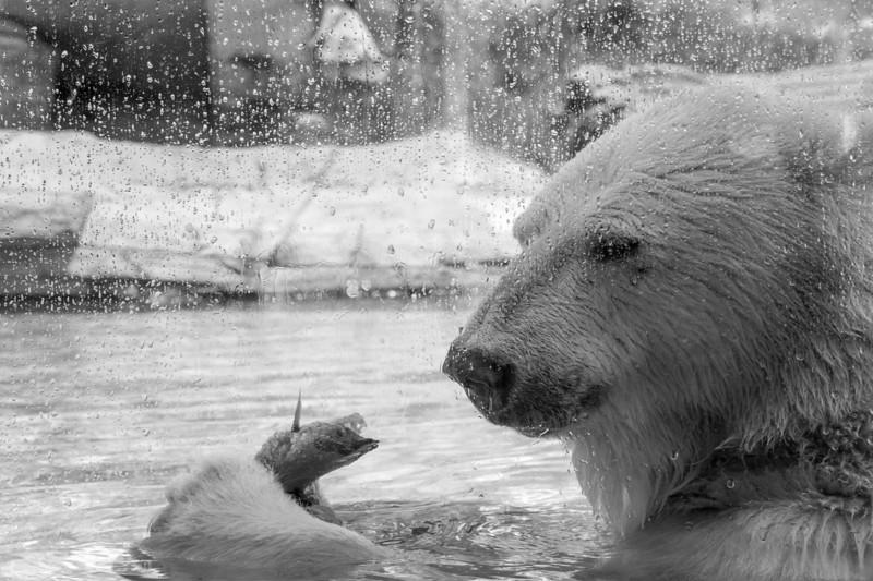 polar bear (4 of 50).jpg