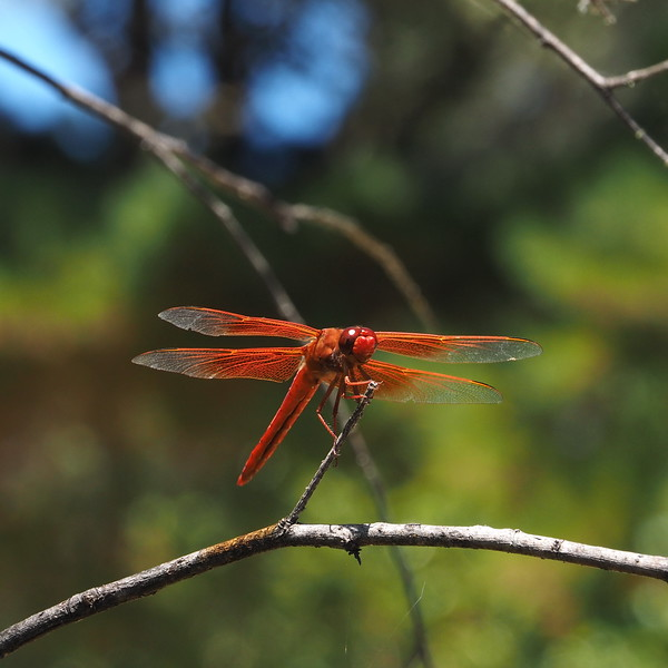 Dragonfly at Alpine Pond