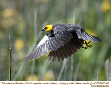 YellowHeadedBlackbirdM50567.jpg