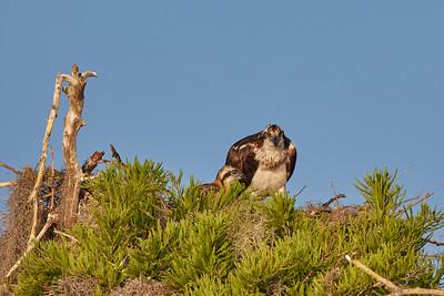 4-26-21 Osprey and chicks