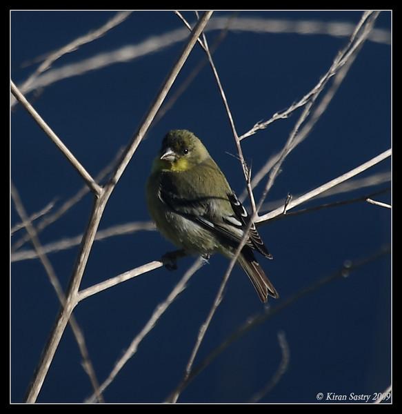 Lesser Goldfinch, La Jolla Cove, San Diego County, February 2009