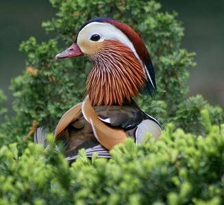 Perching Ducks