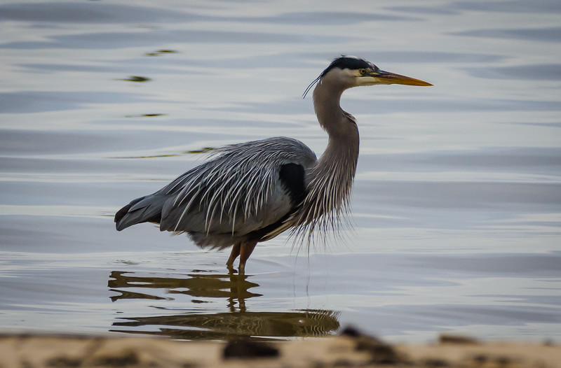 Blue Heron 1 012817 (1 of 1).jpg