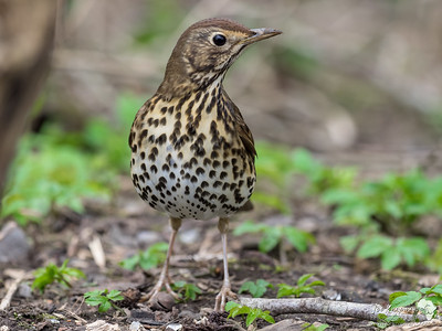 Song Thrush Pose