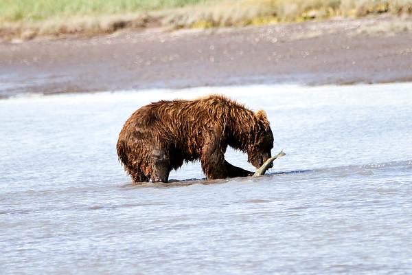 Brown Bears of Hallo Bay Katmai August 2020