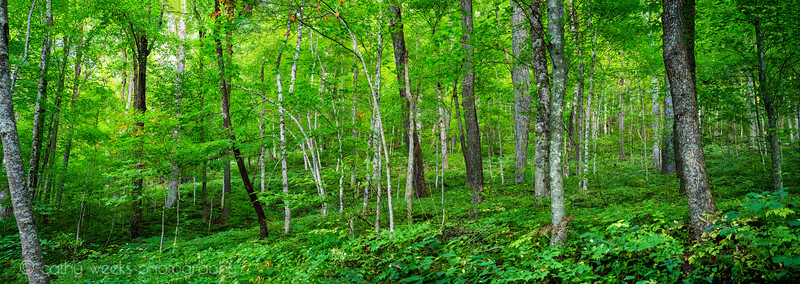 Roaring Fork Forrest_Panorama1.jpg