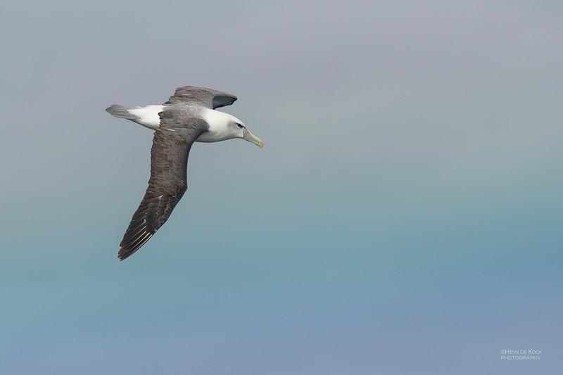 Shy Albatross, Eaglehawk Neck Pelagic, TAS, Dec 2019-4.jpg