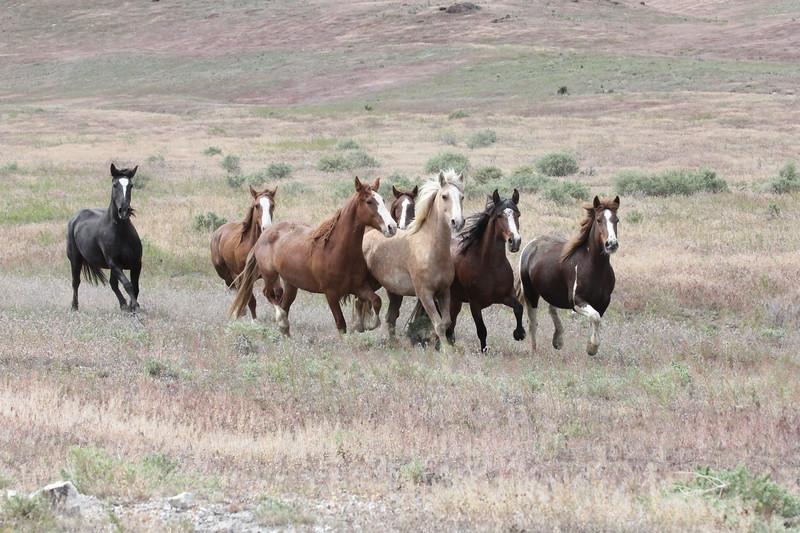 Wild horse release in Owyhee, Idaho