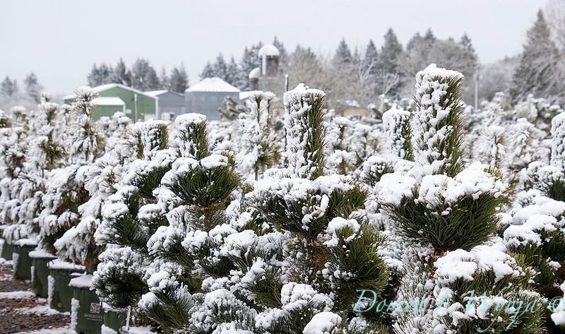 Pinus nigra 'Oregon Green' can yard in snow_4162.jpg