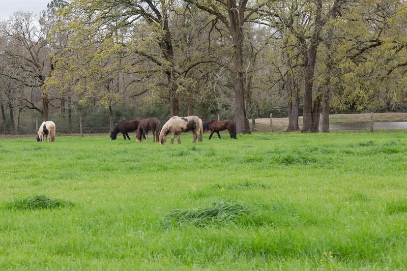 Aunique Ranch with Gypsy Cob Horses 02-23-19